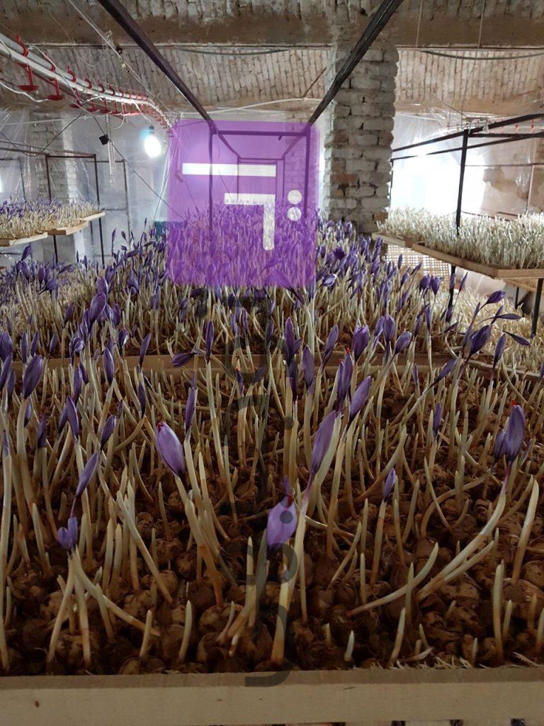 گلخانه ایروپونیک زعفران