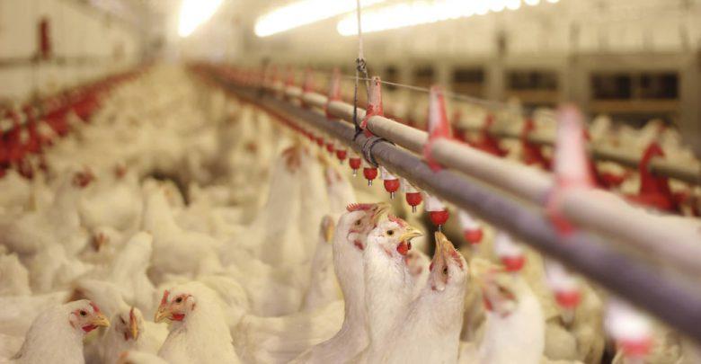 طرح پرورش مرغ گوشتی