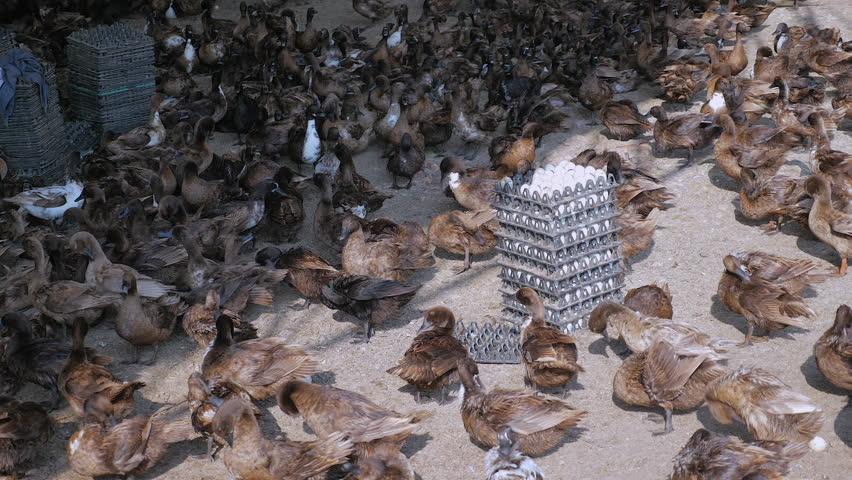 1 - ایده پرورش اردک