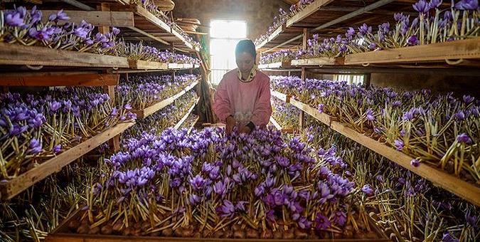 آموزش کاشت زعفران در خانه