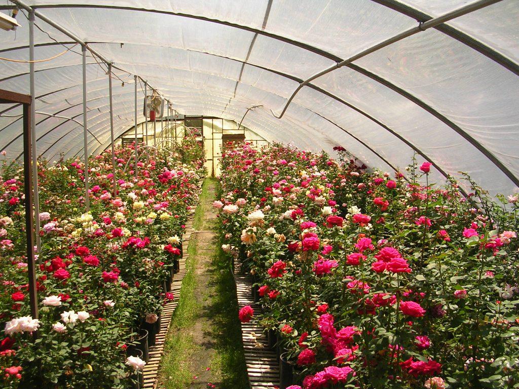 پرورش گل رز در تولید رزهای گلخانه ای