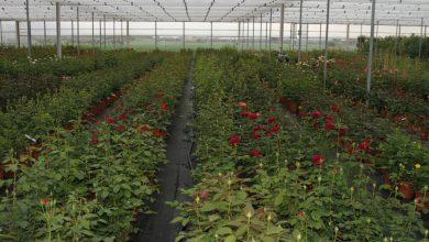 Photo of ایده پرورش گل رز به روش هیدروپونیک