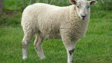 Photo of آشنایی با طرح پرورش گوسفند و بره