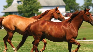 Photo of طرح پرورش اسب