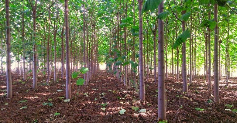 پرورش درخت پائولونیا