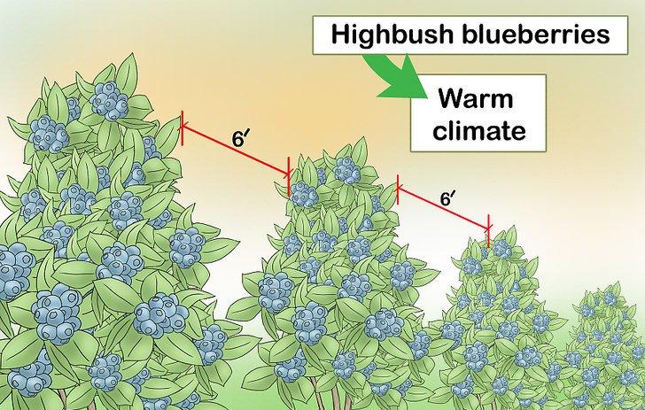در مناطق گرم، از درختچه ی بلوبری استفاده کنید