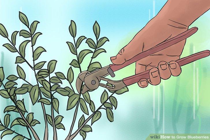 هرس گیاه بلوبری