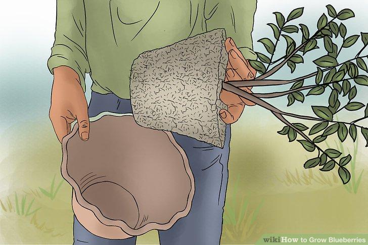 کاشت بلوبری در گلدان