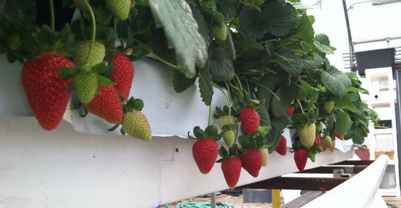 growinghydro 780x405 - آشنایی با ایده کشت گلخانه ای توت فرنگی