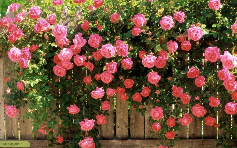 طرح توجیهی کاشت گل محمدی