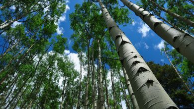 Photo of سرمایه گذاری در پرورش درخت صنوبر