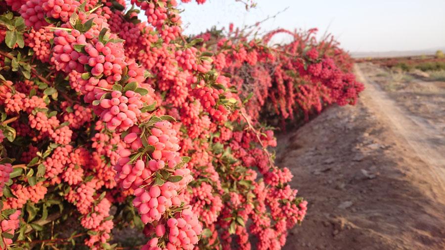 zereskk - 10 درخت میوه که مقاوم به کم آبی و خشکی هستند