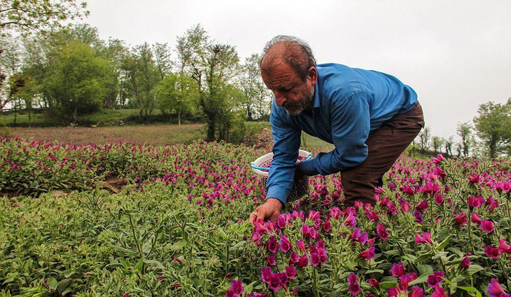 bardasht - کاشت و پرورش گل گاوزبان کیلویی ۸۰ تا ۲۰۰ هزار تومان