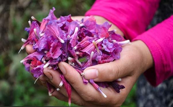کاشت گل گاوزبان
