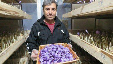 Photo of گزارش؛ پرورش زعفران در پیلوت منزل مسکونی!