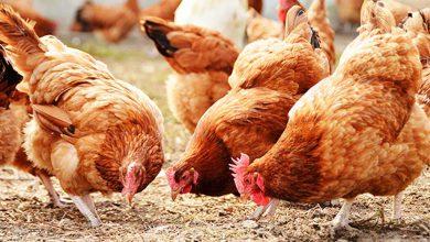 Photo of پرورش مرغ بومی