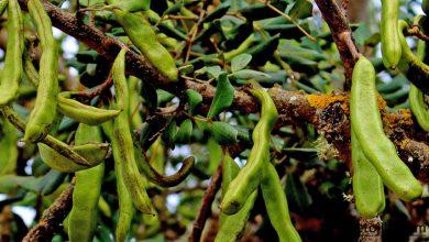 Photo of کشت خرنوب ؛ درختی برای همه فصول