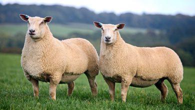 Photo of پرورش گوسفند شاروله