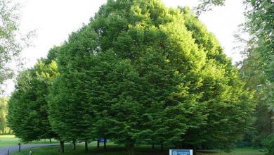 Photo of درخت مورینگا درختی مخصوص جنوب ایران